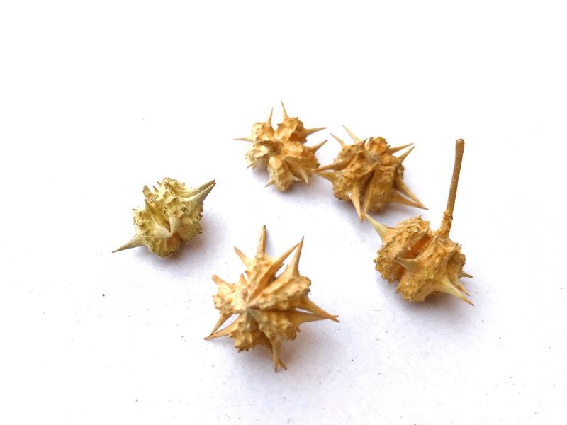 tribulus bitkisi