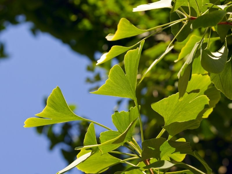 Gingko Biloba bitkisi